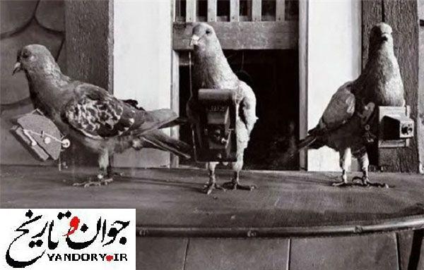 کبوتر های جاسوس/عکس